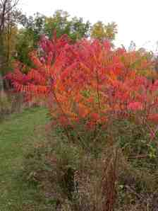 Colorful Sumac