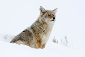 Coyote in snow photo by Max Waugh, Maxwaugh.com