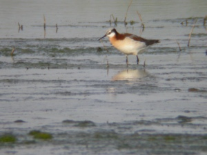 The Wilson's Phalarope is one of three species that migrates through middle America.