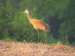 Sandhill cranes are a popular roadside attraction here in Illinois