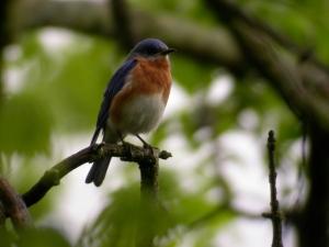 Eastern Bluebird. Photo by Christopher Cudworth
