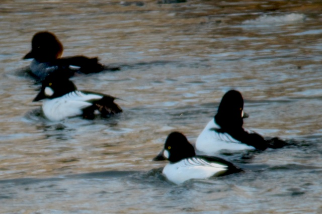 Riding or running along the Fox River in winter one finds these goldeneye ducks in rafts, diving beneath the surface to grab crustaceans off the bottom. They are a sign of winter, but did not show up this year until well into January. Normal arrival time is December 8 each year. Climate change is having an effect here in the Midwest with all sorts of birds. And for cyclists and runners too. Our first real snow fell today. Photo by Christopher Cudworth