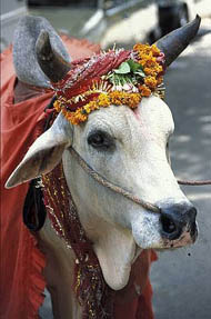 In some parts of the world, cows have already taken over and are worshipped like gods.