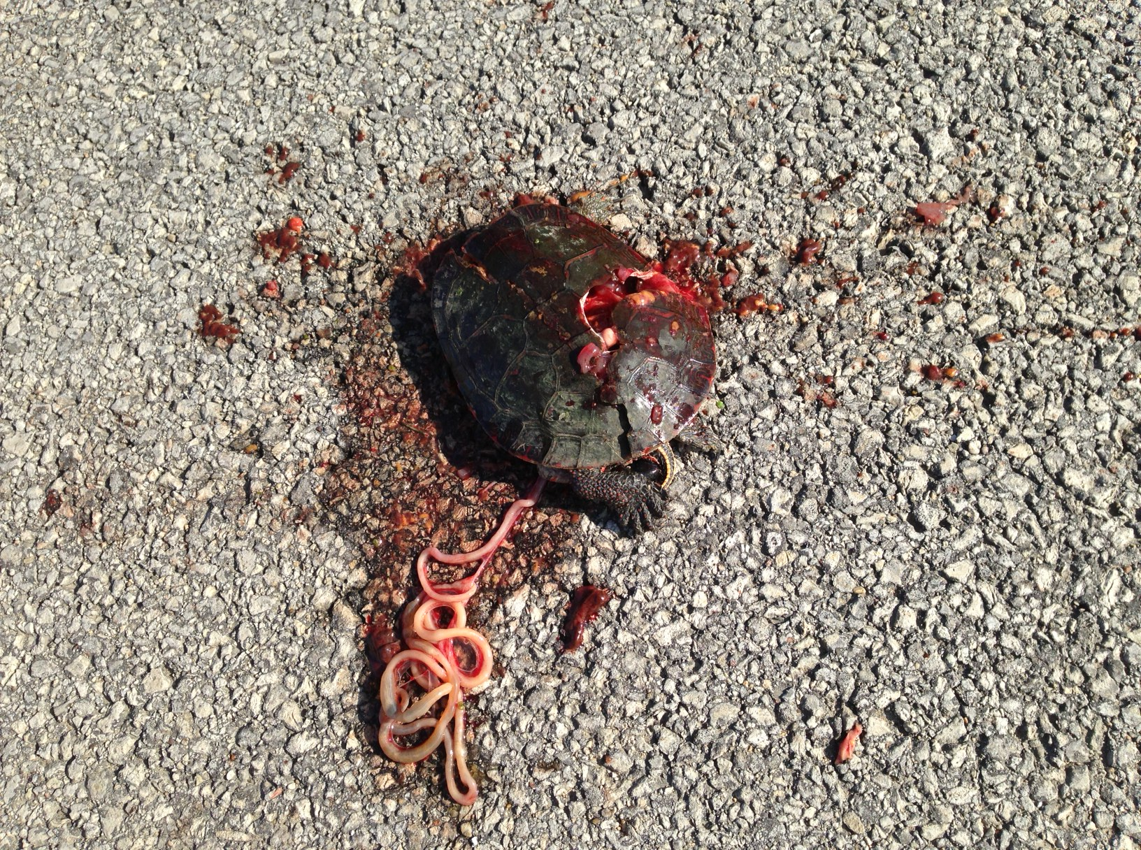 What does a smashed turtle on the road really mean we run and ride a smashed turtle should be a wakeup call to our own manner of existence biocorpaavc Choice Image