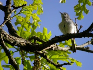 Birds like this blue-gray gnatcatcher eats insects attracted by a garden.