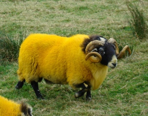 Smartwool Sheep grow the wool that goes into all its hi-tech clothing. And socks. Wools likes socks.