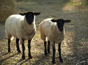 A pair of sheep that don't look all that smart.
