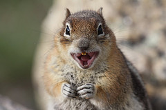 Crazy Squirrel (Callospermophilus lateralis)