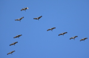 Sandhill Cranes, overflying White Rock, NM