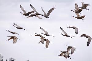 sandhill cranes-M