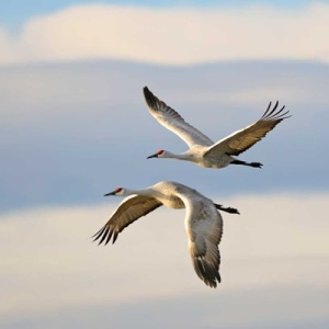 Two Sandhill Cranes Flying
