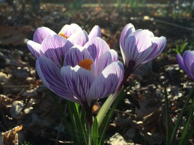 Crocus in Spring Light