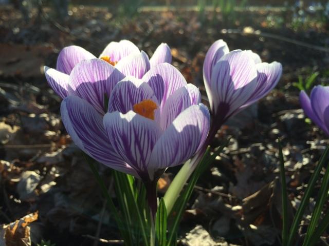 Crocus in Spring Light