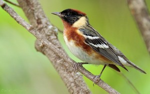 The bay-breasted warbler is one of the beautiful prizes of spring birding.