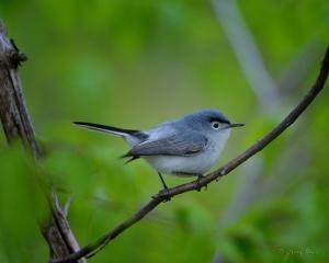 blue-gray_gnatcatcher-5