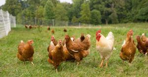 free-range-chickens