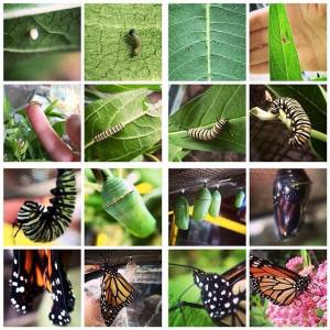 Monarch caterpillar life cycle by Emily Cudworth