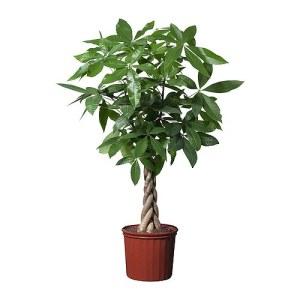 pachira-aquatica-potted-plant__0121010_PE277826_S4