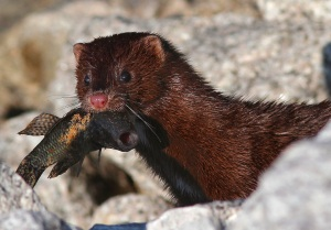 American-Mink-pictuer