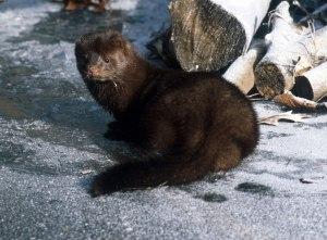 mink (1)