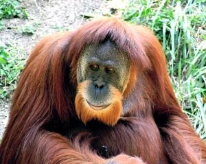 orangutan_01