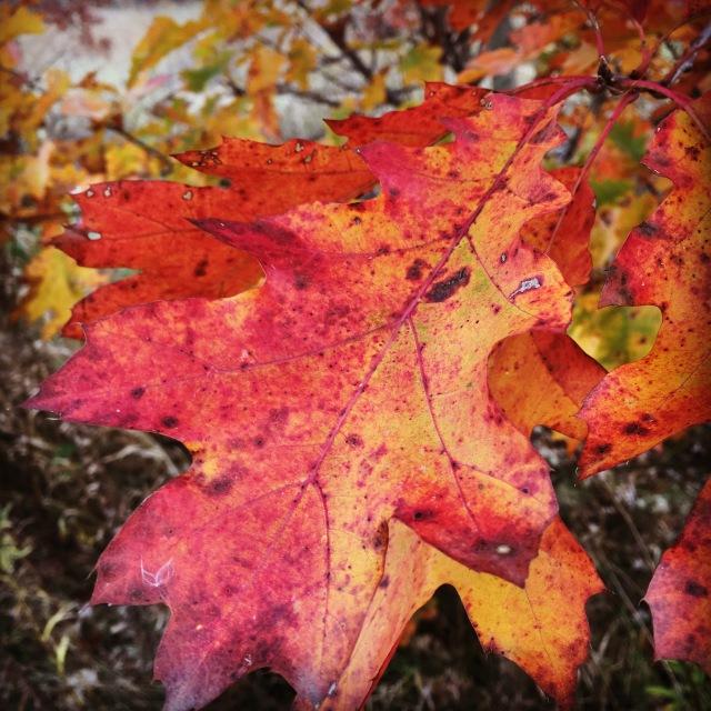 Nelson Oak Leaf.jpg