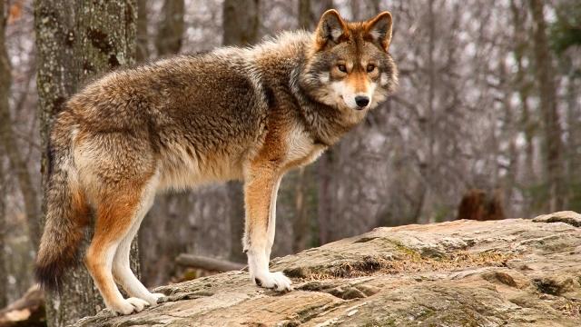 coyote-standing.jpg