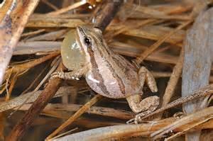 chorus frog
