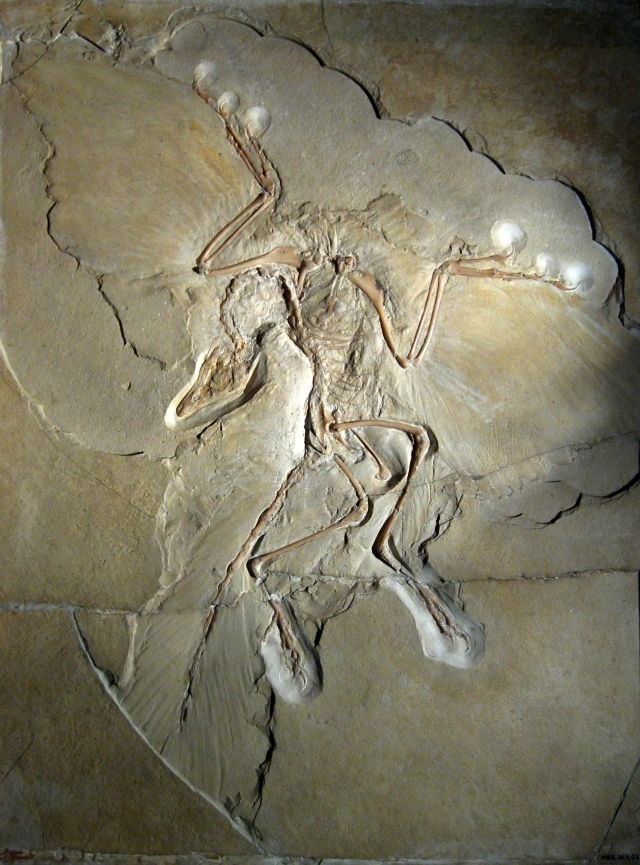 Archaeopteryx_lithographica_(Berlin_specimen).jpg