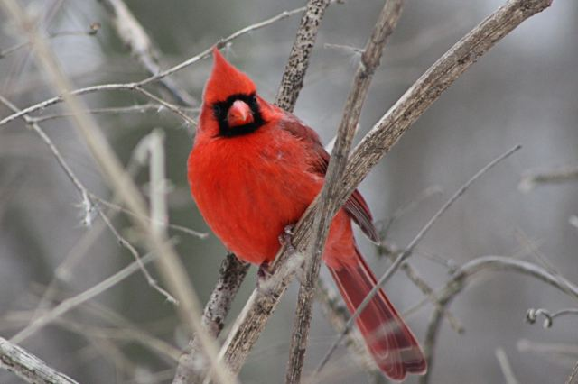 Cardinal for Paint Nature