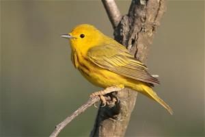 Yellow warbler.jpeg