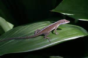 Anole lizard.jpeg
