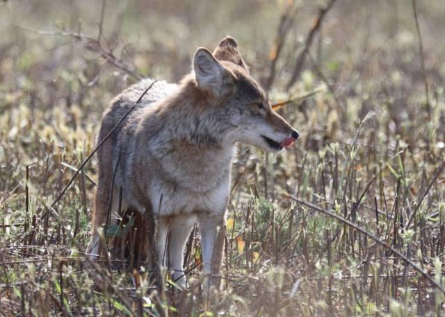 Coyote licking.jpg