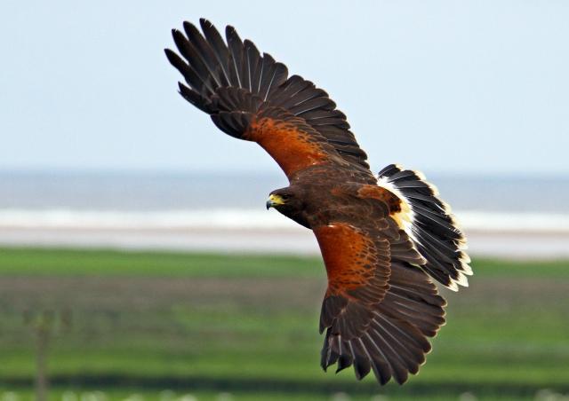 Harris Hawk.jpg