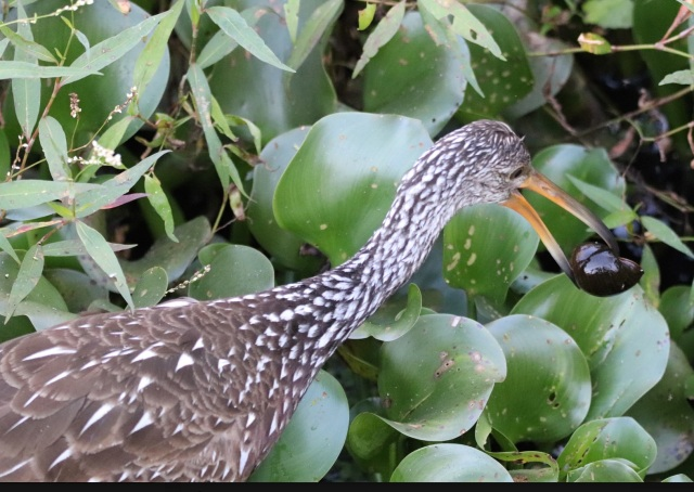 Limpkin With Snail Too