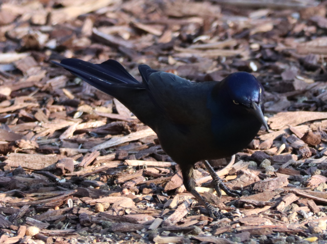Common Grackle.png