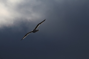 Gull Against Dark Sky