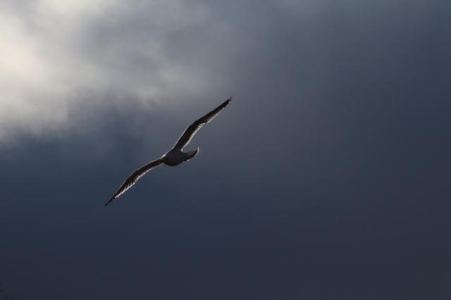 Gull Against Dark Sky.jpg