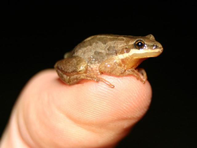 montreal-sept-15-10-western-chorus-frog-for-extra-serie.jpg