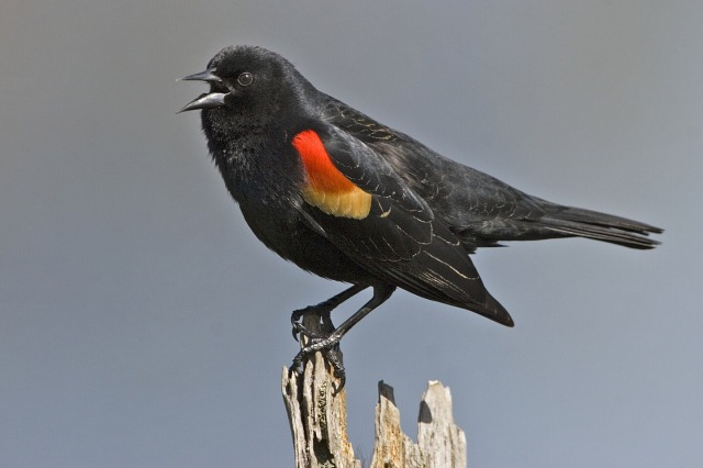 Red_winged_blackbird_-_natures_pics.jpg