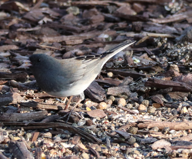Dark Eyed Junco.png