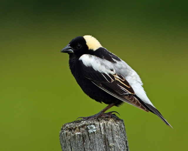 bobolink-male-eagle-point_doug-gimler.jpg
