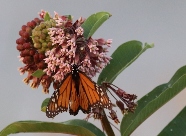 Monarch Milkweed Dusk.jpg