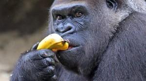Gorilla-Banana-300x168.jpg
