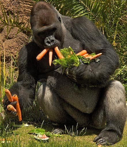 gorilla-carrots_676858n.jpg