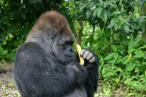 gorilla-eating-banana.jpg