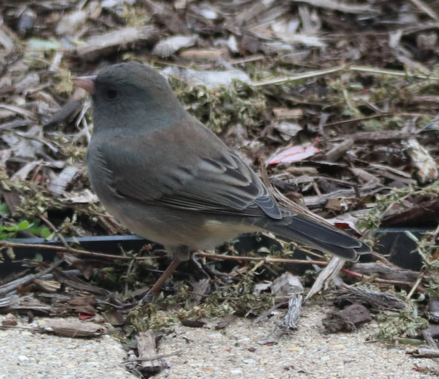 Junco.png